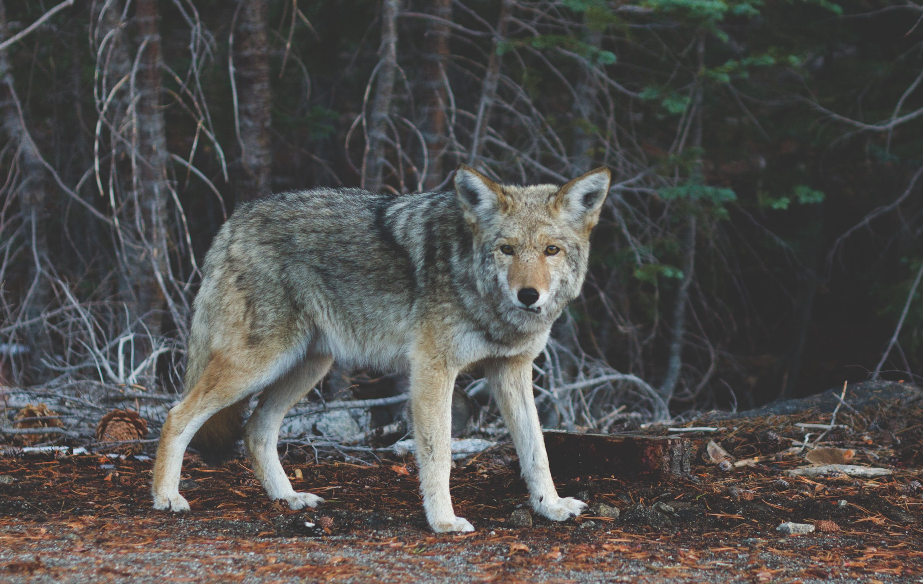 young wolf in the forest