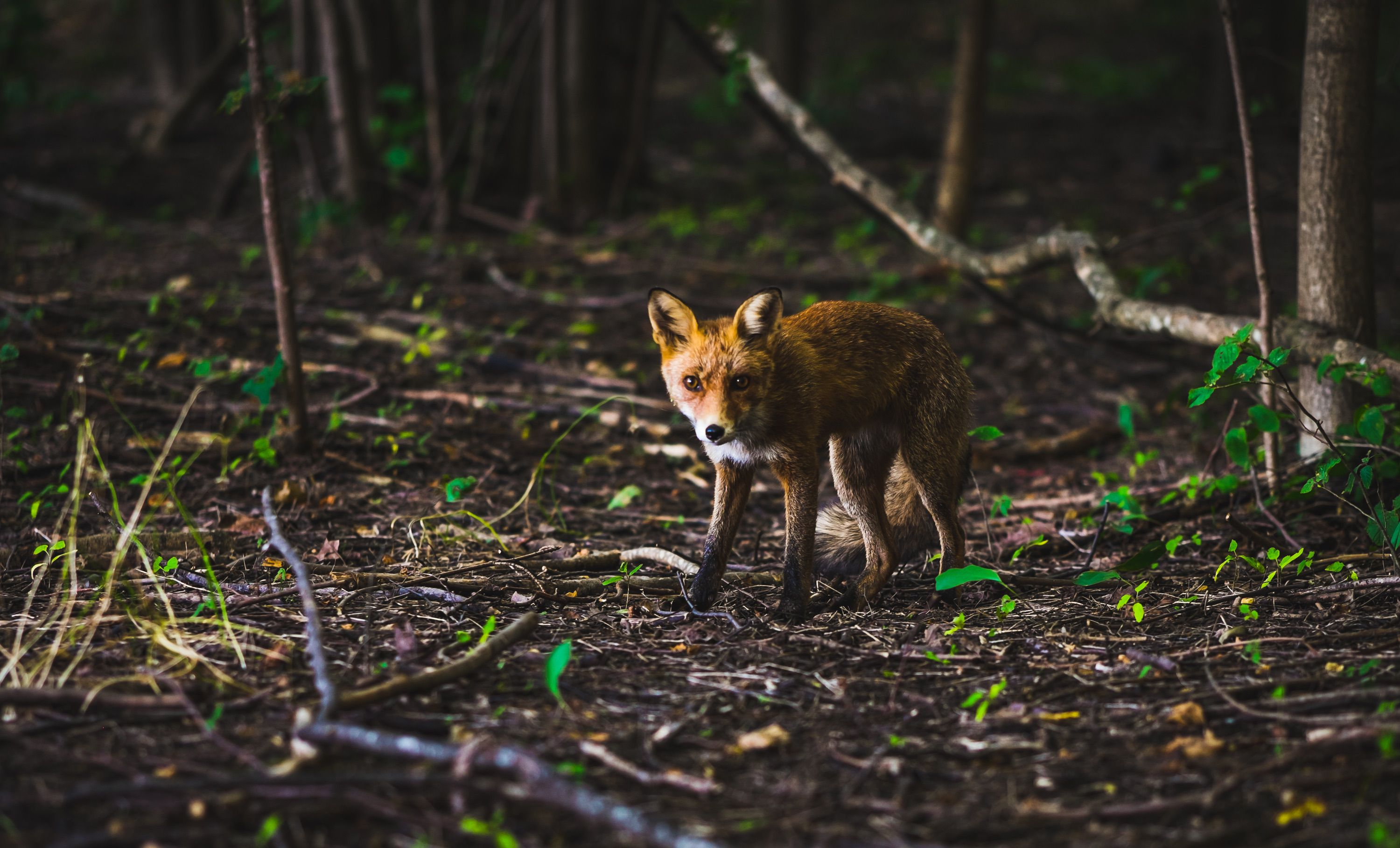 young fox in the forest